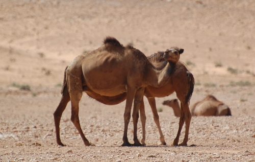 Dromedar [Camelus dromedarius].