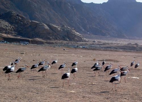 Storke i Sinai.