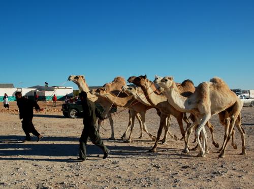 Dromedaren, det er den med én fedtpukkel, men ellers ligner den kamelen en del. Dyret kan leve i månedsvis på det vand det får når det spiser ørkenplanterne. Dromedaren kan desuden tabe 40% af kropsvæsken uden at blive syg. Dromedaren kan blive 2,30 meter høj, den kan veje op til 650 kg og blive 28-30 år gammel.