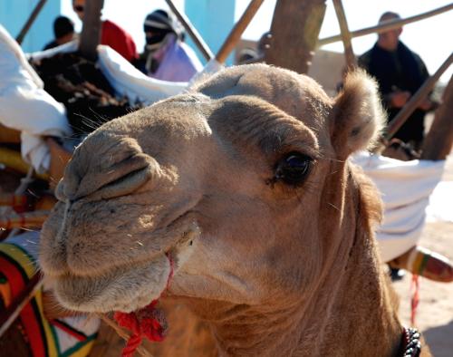 Dromedarens latinske navn er Camelus dromedarius og den tilhøre dyrefamilen Camelidae hvor kameler og lamaer også høre til.