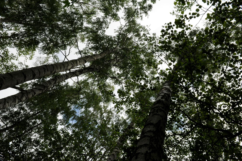 Kig op mellem træerne