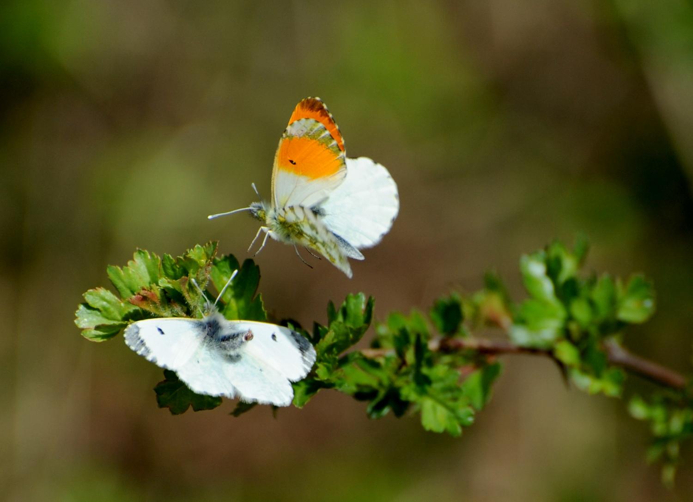To sommerfugle