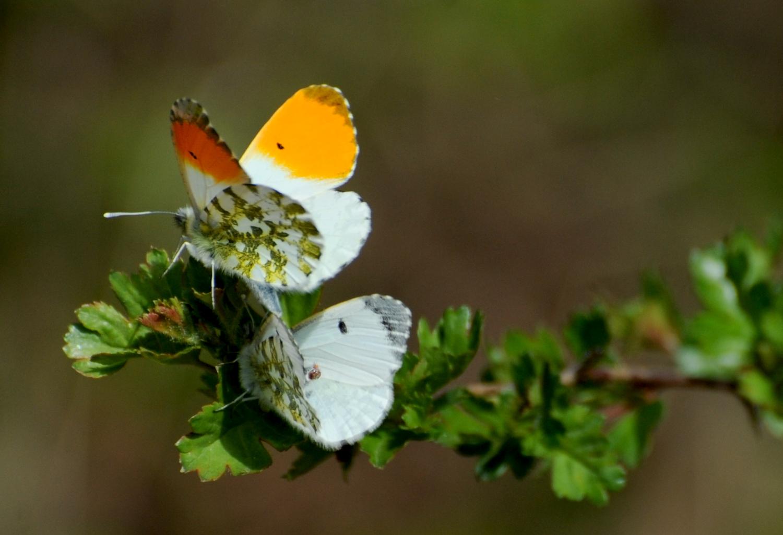 To sommerfugle ved grøn gren