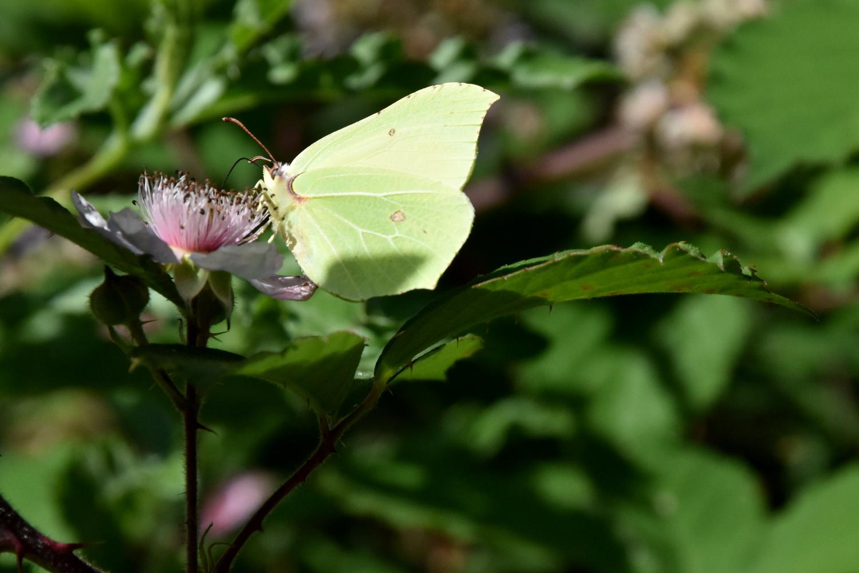 Sommerfugl suger nektar fra blomst - set fra siden