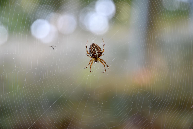 Edderkop i spin