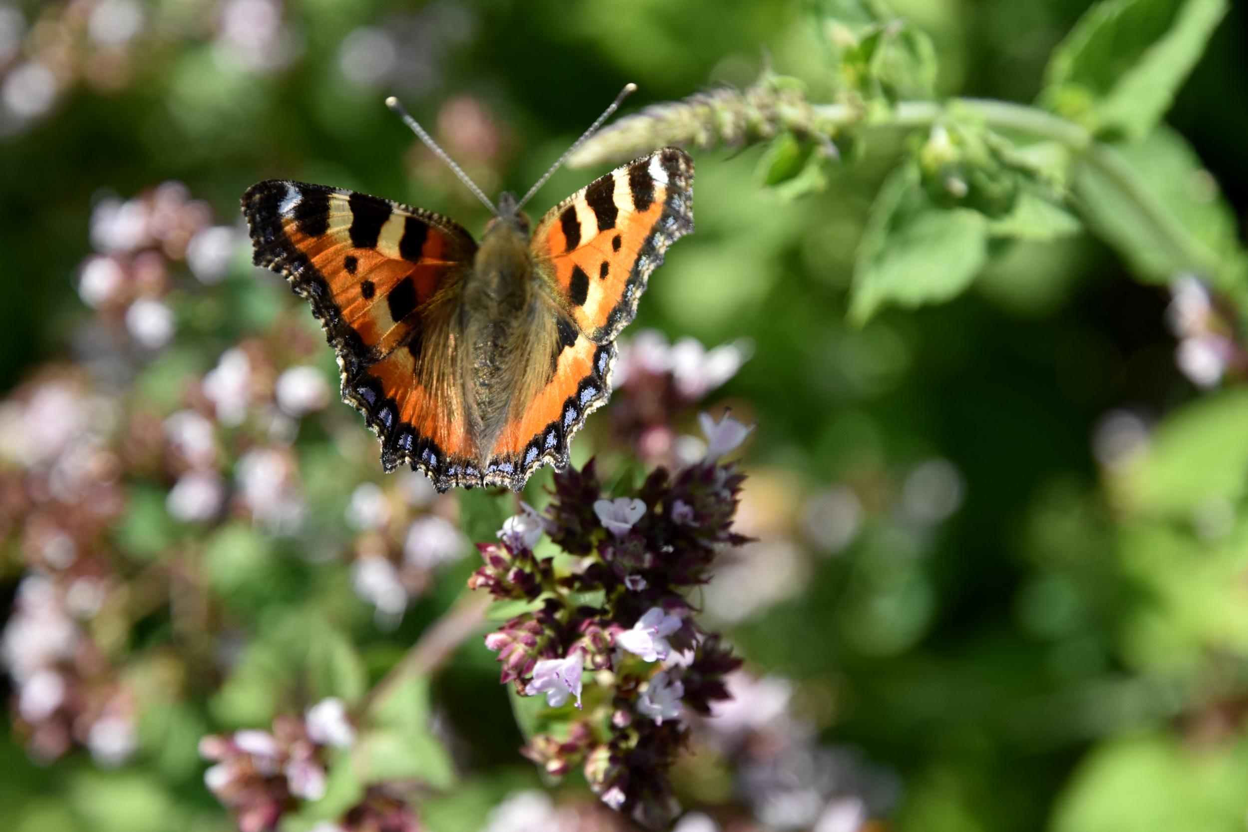 Sommerfugl ved blomst