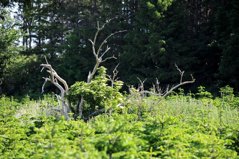 En vissen gren stikker op mellem små græntræer